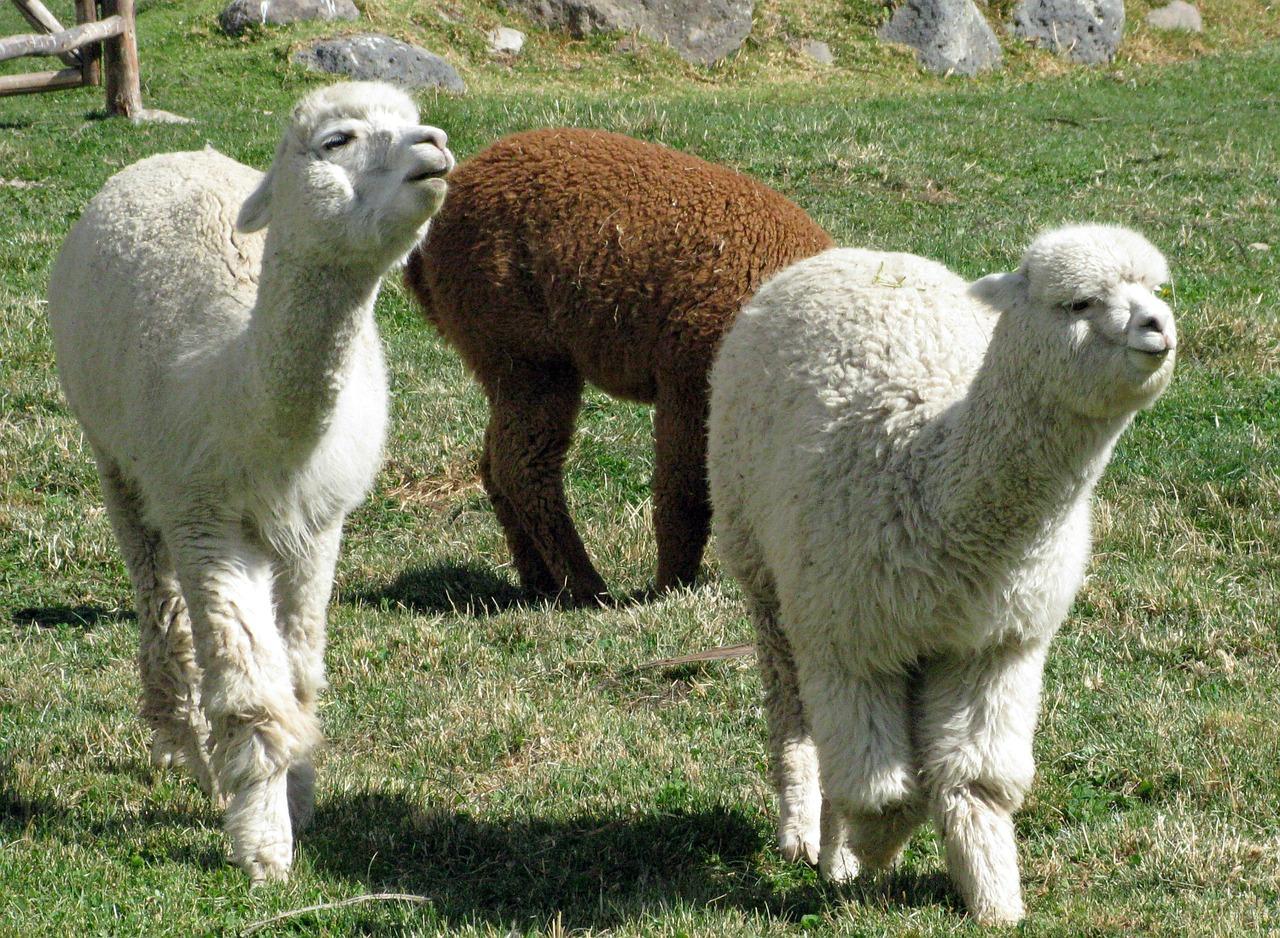 3-alpacas-336154_1280
