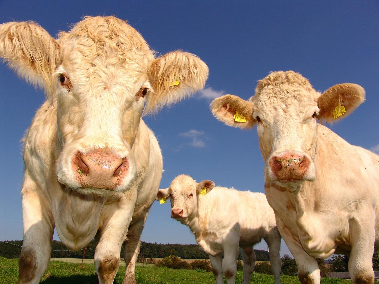 3-cows-1029077_1280