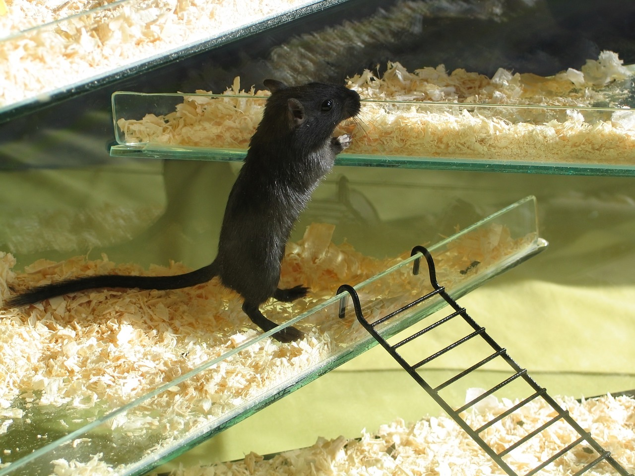 gerbil-black-mouse-1269468_1280