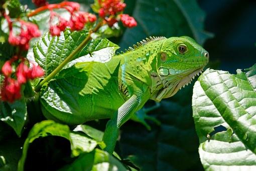 iguana-223157__340