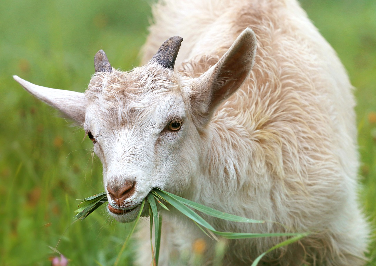 Junge Ziege Tierarztpraxis Raguhn Dr. S. Unglaube