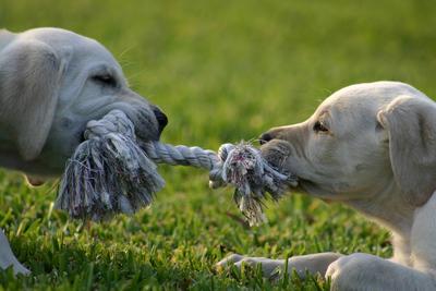 Junghunde Welpen Spielstunde Tierarztpraxis Raguhn Dr. S. Unglaube