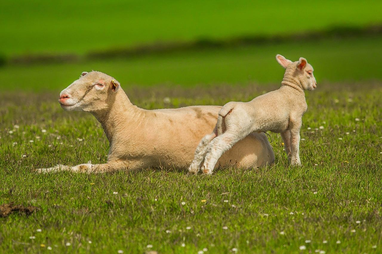 Schaf mit Lamm Tierarztpraxis Raguhn Dr. S. Unglaube